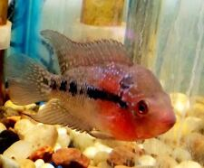 Red Dragon Flowerhorn Cichlid Fry - High Quality and Full of Color!