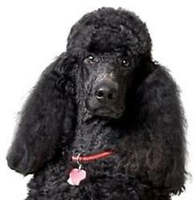 POODLE(BLACK) STD Dog Head on  6 Twelve Identical Fabric Squares to quilt & sew
