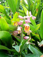 5 KAT GINGER Pink & Yellow Shell Alpinia Katsumadai Hayata Flower Herb Seeds