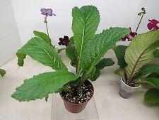 Streptocarpus  DS - VIENIEC TVORENIJE   ( Ukrane )   Bidding on PLANT SHOWN
