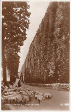 Beech Hedges & Sheep, MEIKLEOUR, Perthshire RP