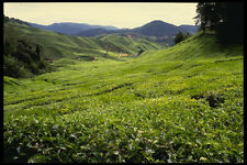 490067 Boh Tea Plantation In Malaysia A4 Photo Print
