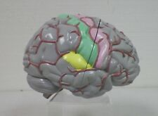 """TEACHING ANATOMY BRAIN MODEL 4 PARTS W PAINTED SECTIONS GREY MATTER 5 1/4"""" EUC"""