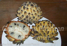Rollinia deliciosa Exotic Fruit 6 Seeds Kübelpflanze Exotic delicious