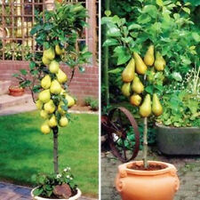 10 PC mini potted pear tree seed, Chinese high quality fruit plants