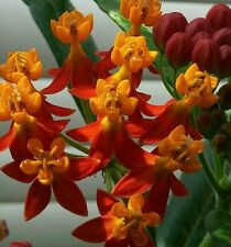 Asclepias curassavica Tropical Milkweed 100+ Seeds