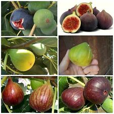Fig Tree - 3 Varieties 25+25+25 Top Quality Seeds - Amazing Taste - Must Try!