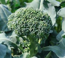 1000 Waltham 29 Broccoli seeds * Heirloom * Non GMO * CombSH H31