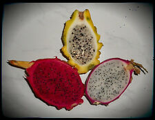 Pitahaya - Dragon fruit Mix - Rot / White / Yellow - 50 Seeds im Mix