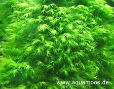 Fissidens fontanus ,  Phönixmoos Phönix Moos ,  Aquarienmoos  beste Qualität