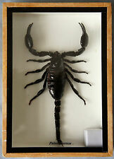 REAL GIANT FOREST SCORPION - PALAMNERSUS - MOUNTED IN WOODEN BOX - TAXIDERMY
