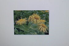 20 seeds Alant, Inula, Helenium, winter hardy, perennial #29