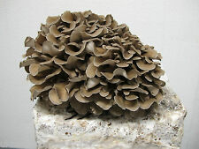 Magic farm's Maitake (Grifola frondosa) 10ml fungo cultura spore siringa- kit