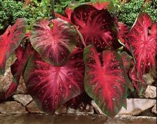Caladium Red Flash,(6 Bulbs) Thrives in Heat and Humidity, Elephant Ears