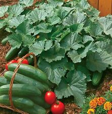 Vegetable - Cucumber - Bush Champion - 7 Seeds