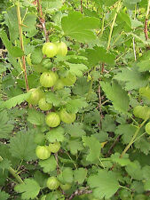 10 Gooseberry Seeds -Cold Stratified