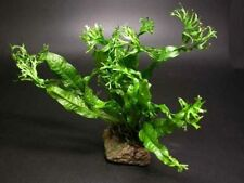 Windelov Fern - for Live plant aquarium Oscar fish AY