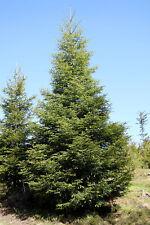 ABIES ALBA 15 semi seeds Abete bianco European silver fir