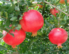 "Best -pomegranate in the world ""Angel red""sweet pomegranate 1000 Bulk Seeds"