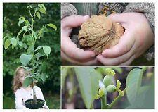 Der Walnussbaum: Finkenwerder Deichnuss Royal -S-, beste Walnuss . . 0,60-0,80 m