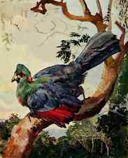 A4 photo johnston Sir Harry 1902 Turaco de Ruwenzori imprimé Poster