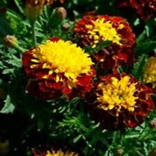 35+ FRENCH MARIGOLD CHAMPION HARMONY MAROON & YELLOW ANNUAL FLOWER SEEDS