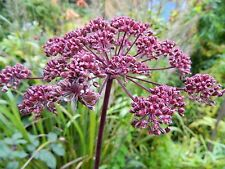 Angelica gigas| Giant Purple Korean Angelica | 20_Seeds FREE SHIPPING TO US