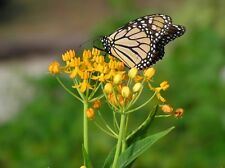 Butterfly Weed Seeds - SILKY GOLD - Asclepias Curassavica - 25 Seeds