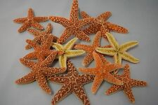 "Sugar StarFish Sea Shell Wedding Real Craft 3"" - 4"" (12 pcs)"
