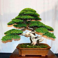 20pcs Japanese White Pine Pinus Parviflora Green Plants Tree Bonsai Seeds Rare