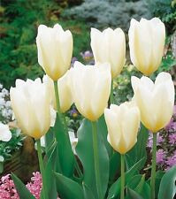 Pack 10 Fosteriana Tulip Bulbs 'White Emperor' Spring Bulbs