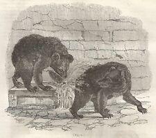A5130 Orsi nell'abbeveratoio - Xilografia - Stampa Antica del 1843 - Engraving