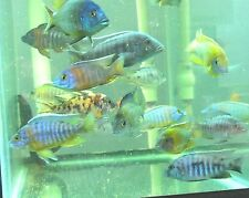 (20) African Peacock Cichlid Tropical freshwater Assortment