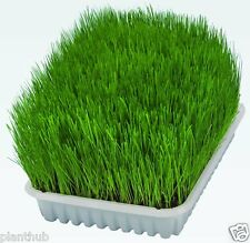 Grass Seed - CAT GRASS / WHEAT GRASS - Triticum Aestivum - Pack of 100 Seeds.