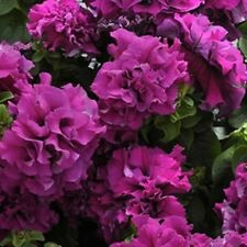 Petunia Double Cascade Burgundy 40 Pelleted Seeds  Garden Seeds 2u
