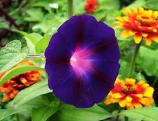Morning Glory Knowlians Black 40 Seeds  Garden Seeds 2u