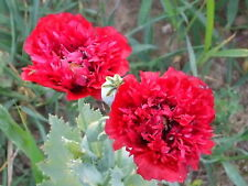 Organic Red Peony Poppy Flower Seeds Papaver Somniferum 100+Seeds