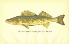 Rare 1895 Antique Denton Fish Print ~ The Walleye ~ Excellent Details!