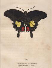1832 The Helenus butterfly farfalla bulino acquarellato