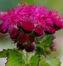 FLOSS FLOWER * Ageratum houstonianum * RED FLINT * NEW LONG STEMMED * SEEDS
