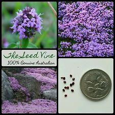 100+ PURPLE CREEPING THYME SEEDS (Thymus serpyllum) Flowers Bees Flowers Birds