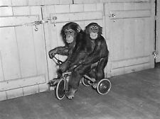 ART PRINT POSTER PHOTO BLACK WHITE CHIMPS TRICYCLE ZOO ANIMAL NOFL0976