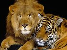 Lion & Tiger Large A3 Photo Picture Print Large A3 Size 16x11 inch Poster NEW