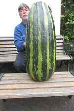 10 semillas de médula grandes vegetal gigante éxito en Harrogate & Malvern