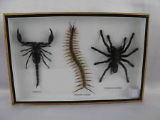 XXL Poisen Box  mit Vogelspinne, Skorpion, Cendipede -  im Schaukasten aus Holz