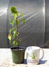 Bonsai, Trident Maple, Acer buergerianum, Live tree, Starter tree