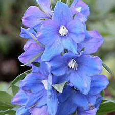 Magic Fountain – Delphinium 25 seeds