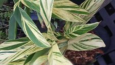 varigated Shell ginger rooted live plant Alpinia zerumbet