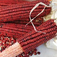 10 Graines de maïs Rouge ' Red Corn '  heirloom Seeds