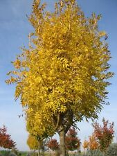 5 Seeds Fraxinus Common Ash Tree Shrub golden-yellow Leaves Garden